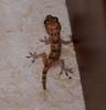Baby Gecko in the House (sundero) Tags: baby florida reptile lizard tropical gecko southflorida babygecko littlelizard lizardinthehouse