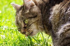 tinker eating grass (TranKmasT) Tags: cats cutecat tinker prettykitty beautifulcats bestofcats pilcsta archenema
