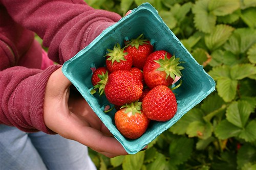 Oregon strawberries, fresh in the field