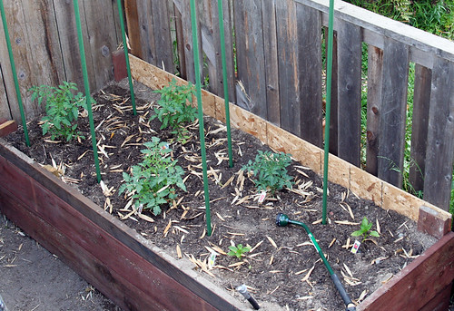Bill's tomatoes: Early May