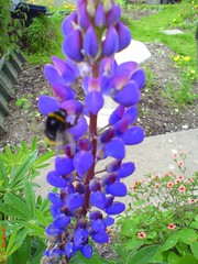 Bee collecting from a Lupin (Wildlife Gardener) Tags: natural 1st wildlife bees butterflies award organic 2008 highly gardener 2007 hoverflies commended wildlifegarden beneficialinsects britishflowers workingwithwildlife