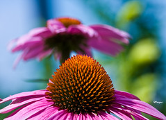 Coneflowers (HVargas) Tags: pink flowers orange flores daisies newjersey blossom insects sunflower daisy coneflower africandaisy canoneos soe photoshopelements canonlens saddlebrook conflowers ef180mm aplusphoto canoneos40d rayflowers canon40d canonef28300mm ef180mmf35lmacrousm canonmacroef180mm park80west