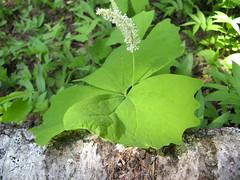 Vanilla Leaf (Achlys triphylla)