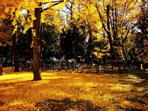 Under the Ginko Trees in 千葉市