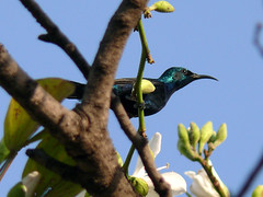 Purple Sunbird (Cinnyris asiaticus) - Male (http://www.bangladeshinside.com) Tags: pakistan bird purple sunbird islamabad asiaticus cinnyrisasiaticus cinnyris
