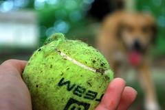 fetch (missbrill) Tags: dog ball puppy emily focus hand bokeh charlie tennis catch fetch