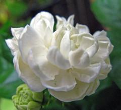 Grand Duke Jasmine