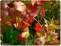 Color mixture (Michelsen Photography) Tags: autumn fall nature closeup august motive 2008 zazzle otw allrightsreserved roymichelsen colourmixture httpwwwzazzlecomneslehcim motive4u2see
