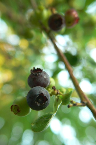 Blueberries & Bokeh
