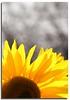 Sunshine came softly... (fotophriendly) Tags: bw bokeh sunflower bullseye inspire springsummer goldenglobe objektif flickr1 mywinners royalgroup peopleschoiceaward heartaward flickrsspecial dazzlingshots allkindsofbeauty exquisiteflowers mimamorflowers hundredplus theflowerbasket groupsunflowers kornwariee