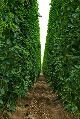 Hops farm (petr_svec) Tags: plants plant green nature beer field leaves barley sunshine drunk outside outdoors climb leaf spring bush vines flora raw day natural drink farm background farming spice grow vine sunny fresh trellis climbing growth part alco