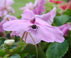 fly impatiens