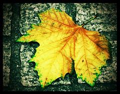 DISCARDED (Austrian Alex) Tags: autumn brown green stone leaf pavement selectivecolour pickyourpoison thechallengefactory superherochallenges pregamewinner