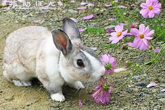 fukusuke-pon  (fukusuke-pon ) Tags: rabbit bunny japan  osaka cosmos ikeda