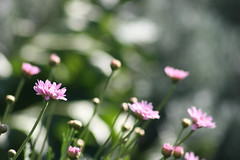 In and out of the crowd like a glance... (jewelflyt) Tags: pink flowers light sunlight green nature daisies lyrics bokeh quote daisy joshgroban pinkdaisy redbubble soshedances