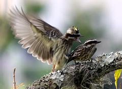Love is in the air... (claudio.marcio2) Tags: bird nature natureza pssaro wonderfulnature allyouneedislove blueribbonwinner beautifulbirds mywinners ourplanet nationalgeographicareyougoodenough ithinkthisisartaward ysplix theunforgettablepictures brilliant~eye~jewels astoundingimage birdsinsideandoutside salveanatureza allbirdsallthetime sognidreams worldnaturewildlifecloseup thewonderfulworldofbirds