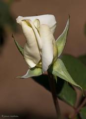 moody bud (MyArtistSoul) Tags: white rose moody rich smooth bud ventura