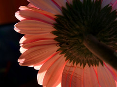 The Other Side (Ellie-Eve) Tags: flower macro blossom gerbera