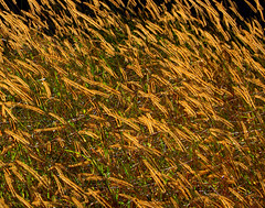 Fields of Gold (T i s d a l e) Tags: field grass gold farm windy millet covercrop nikond40 tisdale53