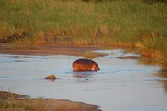 Hippo! (John D McKenna) Tags: elephant bird southafrica crane lion rhino giraffe wildebeest kruger sodwana barbet kurisamoya
