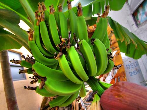 Дрво банане (аутор Aaron Escobar)