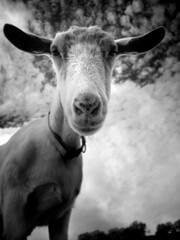 Friendly Goat - IR (shollingsworth) Tags: ranch sky bw usa white black nature face animal animals geotagged ir photography smithsonian photo blackwhite farm goat ears buddy infrared billy below pal photocontest clould hollingsworth natureanimals baaah stephenhollingsworth smithsonianchannel aerialamerica