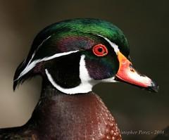 Wood Duck - 2008