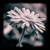 autumn flower (horizontal.integration) Tags: pink bw flower water drops october dof bokeh gerbera daisy toned 2008 sq hbw fakettv