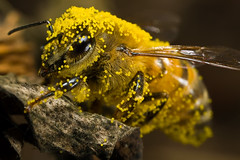 Covered in Pumpkin Pollen (Dalantech) Tags: macro canon insect bee explore pollen honeybee mpe65 mt24ex 40d specinsect dalantech johnkimbler