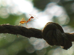 Strong enough to challenge (Prathap Joseph) Tags: insect ant micro creature