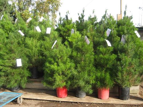 christmas trees -- alive!