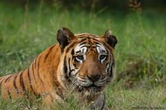 Royal Bengal Tiger (Nachiketa Bajaj) Tags: cub wildlife tiger tigercub corbettnationalpark royalbengaltiger