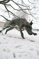 Stella Meets Snow (k.james) Tags: blue stella winter dog snow puppy great greatdane dane firstsnow sprint gallop