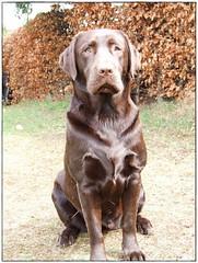 my sweetie :) (domii) Tags: cute pie mine labrador sweet d chocolate retriever daisy sweetie doggy lovely