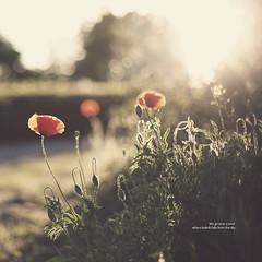 97 of 365 (Morphicx) Tags: flowers dutch dof bokeh beautifullight poppy poppies canon5d 365 klaproos deventer goldenlight canon50mmf14 ilovebokeh heavenlylight ithinkiminlovewiththislight f14formagicbokeh 365shotsin365days