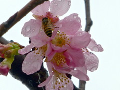 cherry blossoms with bee (Shelley Huang) Tags: flowers flower bee pinkflower cherryblossoms 櫻花