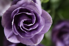 Purple Rose (z o u b i n) Tags: flower newyear purplerose