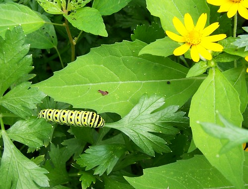yellow black and white caterpillar. Yellow and Black Caterpillar