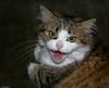 MAD VAMPIRE CAT redux (Luc Deveault) Tags: canada animal danger cat crazy dangerous chat quebec vampire teeth québec hate stupid bite luc démone deveault lucdeveault