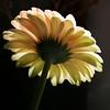 infinitely precious things (Maureen F.) Tags: flower fleur petals flora gerbera backlit africandaisy flowerotica mywinners karmapotd karmapotw