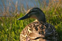 Untitled (mstrwhew) Tags: nature beautiful utah duck wings eveningsun wildlife feathers relaxing mallard salem waterfowl hen pentaxistdl salempond