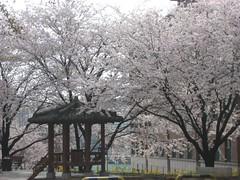 PU Cherry Blossoms near pavillion