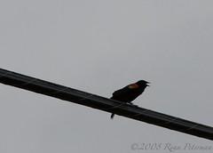 IMG_2217 (leftboot13) Tags: sky birds canon industrial edmonton powerline birdwatcher dailychallenge agelaiusphoeniceus ef28135mmf3556isusm 40d redwingedblackbirdm