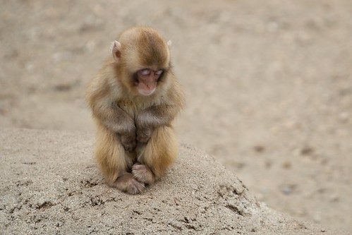 Sleeping Baby Macaque