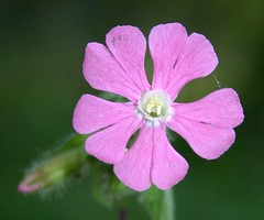 Little pink flower (Rob Wassell) Tags: wood staffhurst