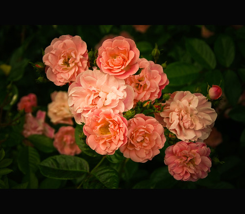 The roses of Vincennes