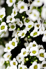 Babies (kelly.g) Tags: flowers white macro pretty bokeh alyssum