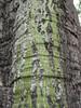 97.05.22平和國小吉貝木棉老樹DSCN0717