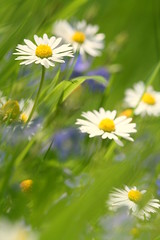 tall grass (viacreativa) Tags: flowers macro green grass daisies lawn daisy needs 107 mowing speedwell