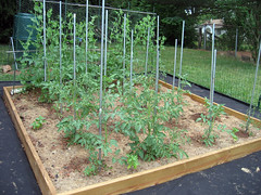 tomatoes late spring